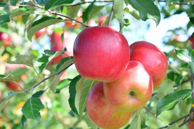 蜜入りりんごの旬は?1年中りんごが販売されている理由|蜜入りりんごとは?わかりやすく解説します。